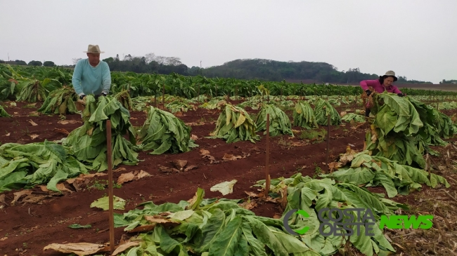Expedição Costa Oeste: Família cultiva tabaco por gerações, mas sucessão está chegando ao fim