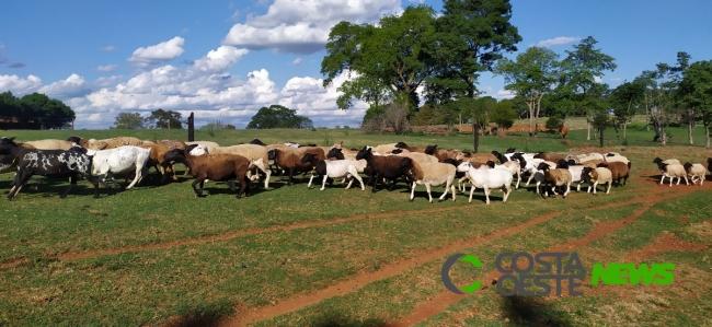 Expedição Costa Oeste: Família descobre potencial econômico na produção de ovelhas