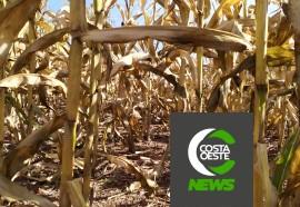 Impactos das geadas no milho safrinha refletem nos pedidos de Proagro na região
