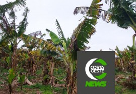 Produtor está reduzindo área de bananas para aumentar produção de milho e soja