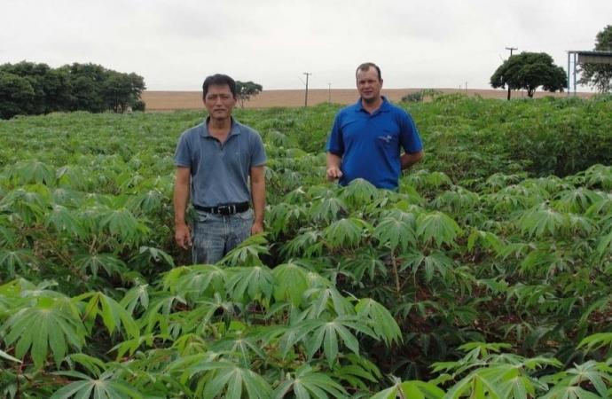 Com apoio do Estado, cultivo de mandioca ganha eficiência, tecnologia e movimenta economia