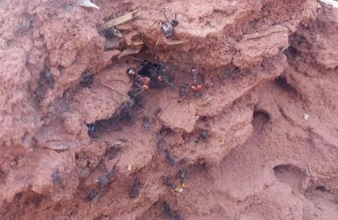 IDR-Paraná orienta sobre formas para controlar formigas cortadeiras na agricultura