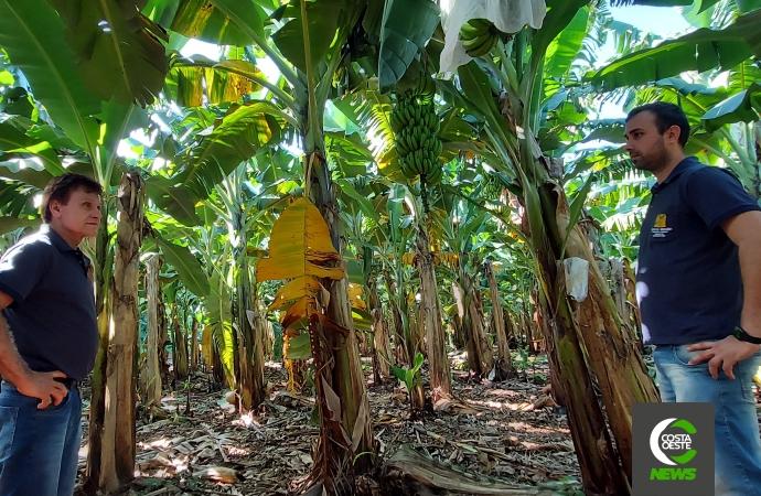 Produzir bananas no oeste do Paraná era considerado 'coisa de louco', mas agora é um negócio rentável