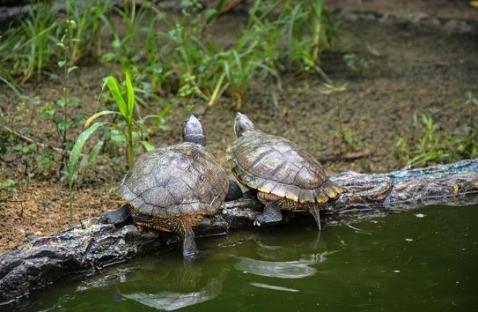 Tartarugas de estimação são furtadas de residência em Santa Helena durante a madrugada
