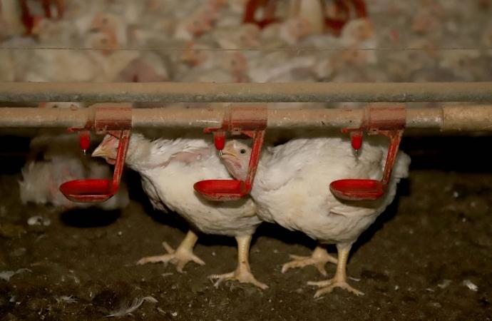 Uma em cada três aves abatidas no Brasil em 2020 saiu do Paraná