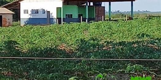 Agroindustrialização de mandioca pode ser alternativa viável para produtores do Oeste do Paraná