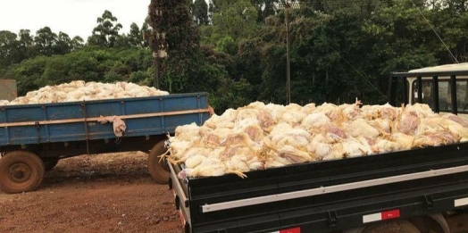 Falta de luz provoca morte de diversos frangos na região oeste
