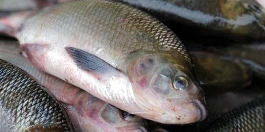 Feira do Peixe acontece hoje (01) na praça central em Santa Helena