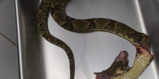 Morador de Santa Helena é atacado por cobra Jararaca