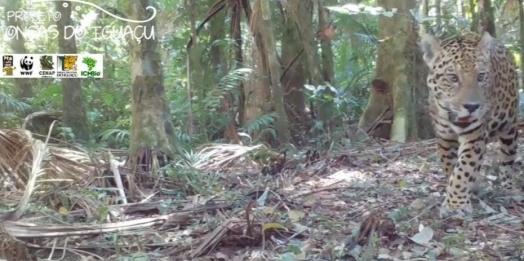 Nova onça-pintada é registrada pelo projeto Onças do Iguaçu; vídeo