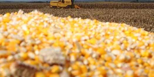Perdas na safra de Milho em Missal são estimadas em mais de 50% da produção devido à estiagem e geadas
