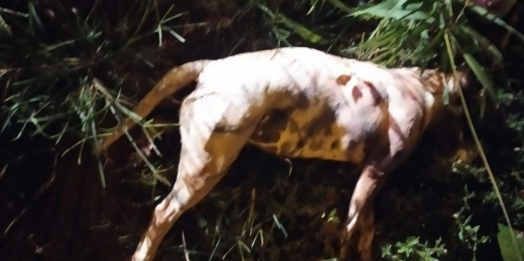 Pit Bulls matam cão, atacam criança e são mortos pela Guarda Municipal em Foz