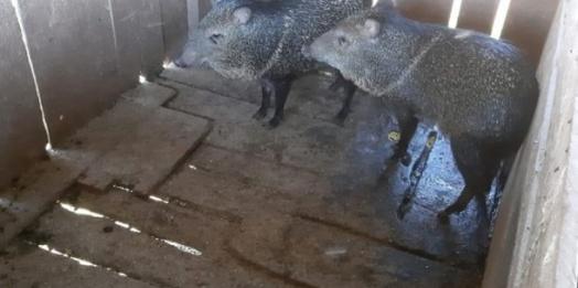 Porcos-do-mato mantidos em cativeiro ilegal são resgatados em São Miguel do Iguaçu
