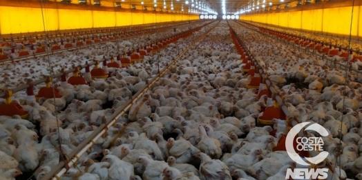 Produção de aves de corte lidera cadeia produtiva de São Miguel do Iguaçu